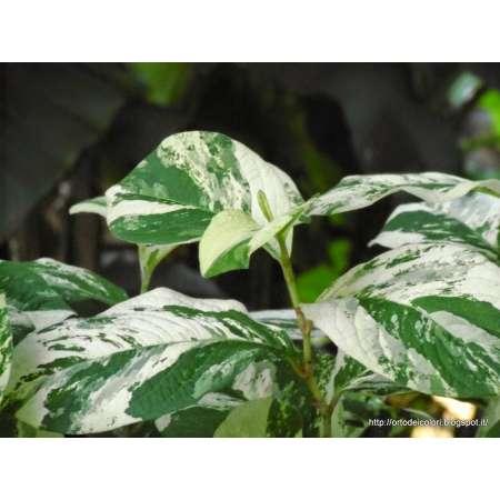 Persicaria virginiana 'Variegata'