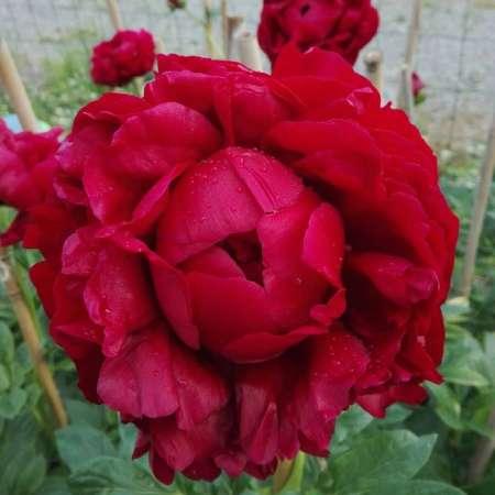 Paeonia 'Henry Bockstoce'