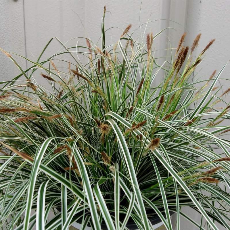 Carex oshimensis everest i giardini dell 39 indaco for Piante perenni per bordure