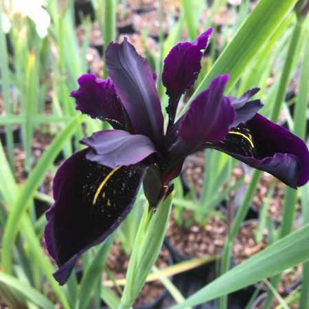 Iris chrysographes 'Black'