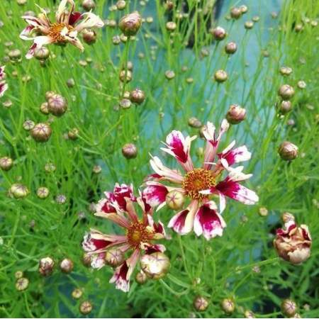 Coreopsis verticillata ''Frida''