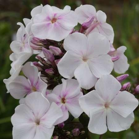 Phlox paniculata 'Anne'