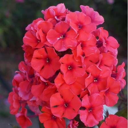 Phlox paniculata 'Tequila Sunrise'