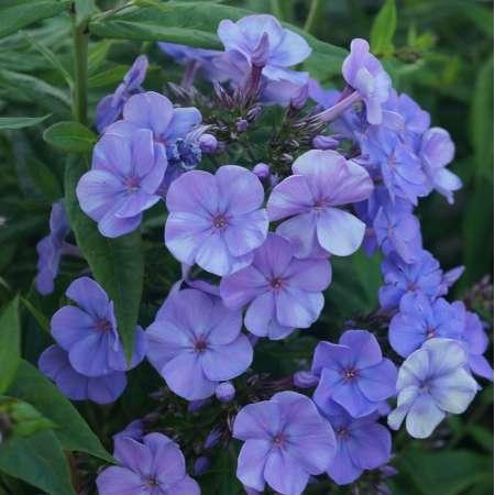 Phlox paniculata 'Blue Summer Ocean'