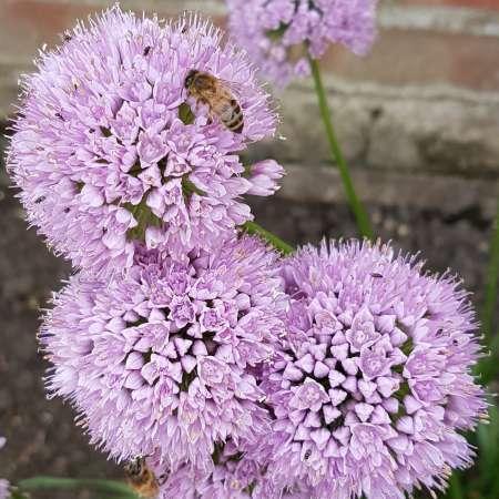 Allium 'In Orbit'