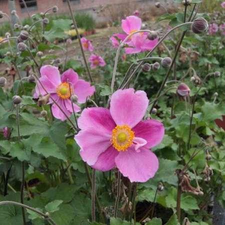 Anemone x hybrida 'Rosenschale'