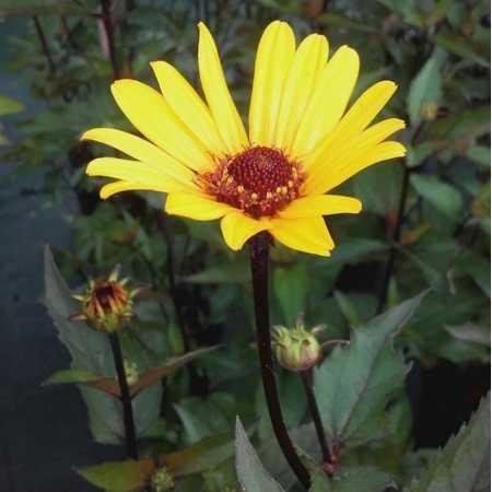 Heliopsis helianthoides var. scabra 'Summer Nights'
