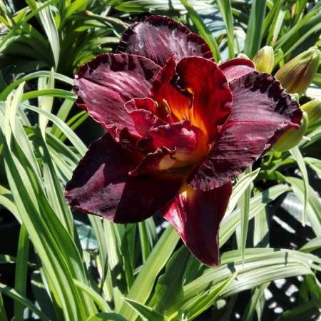 Hemerocallis 'Voodoo Dancer'
