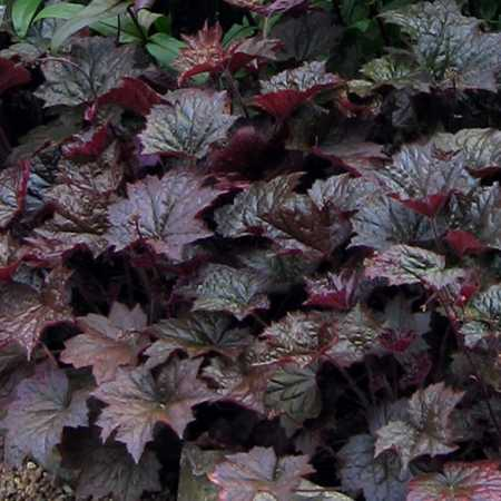 Heuchera micrantha var. diversifolia 'Palace Purple'
