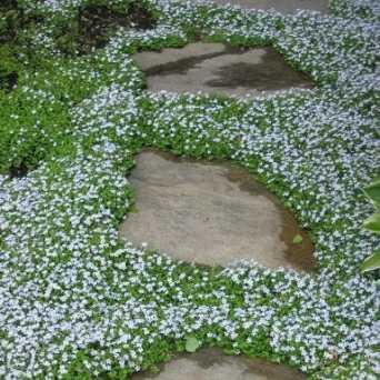 Isotoma fluviatilis i giardini dell 39 indaco for Piante tappezzanti perenni