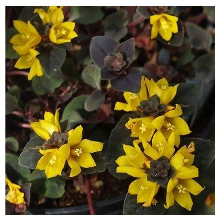 Lysimachia congestiflora 'Persian Carpet'