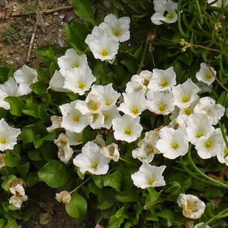 Nierembergia repens