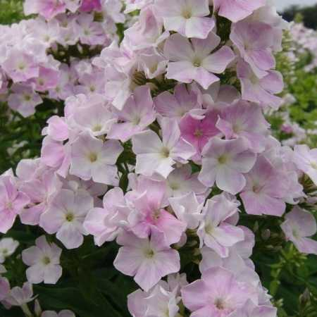 Phlox paniculata 'Cool Water'
