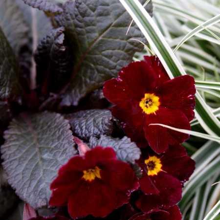 Primula vulgaris 'Innisfree'