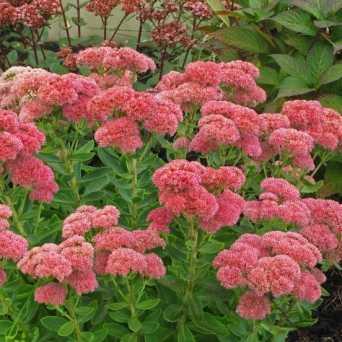 Autunno Fioritura Sedum Spectabile Mini-Joy 8 piante non Autumn Joy