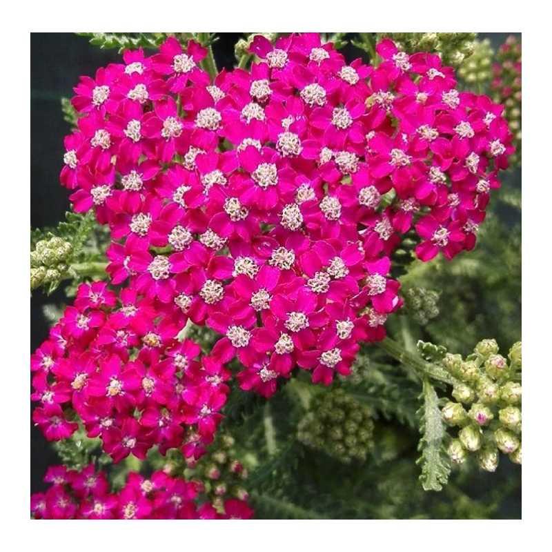 Achillea millefolium summer berries i giardini dell indaco for Fiori per balconi soleggiati