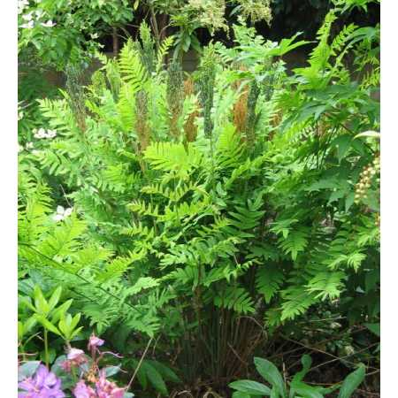 Osmunda regalis 'Purpurascens'