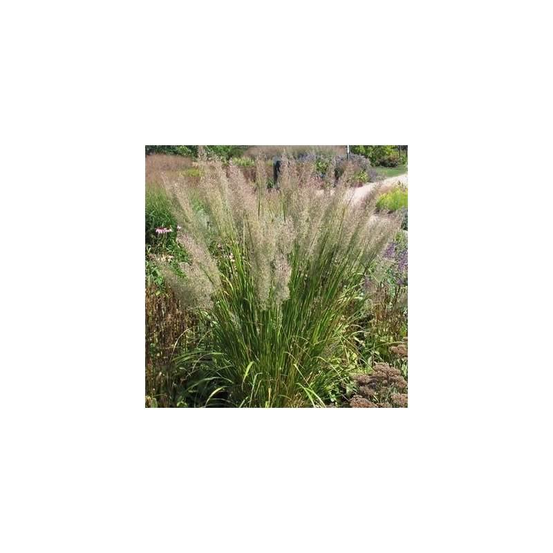 Calamagrostis brachytricha i giardini dell indaco for Piante graminacee ornamentali