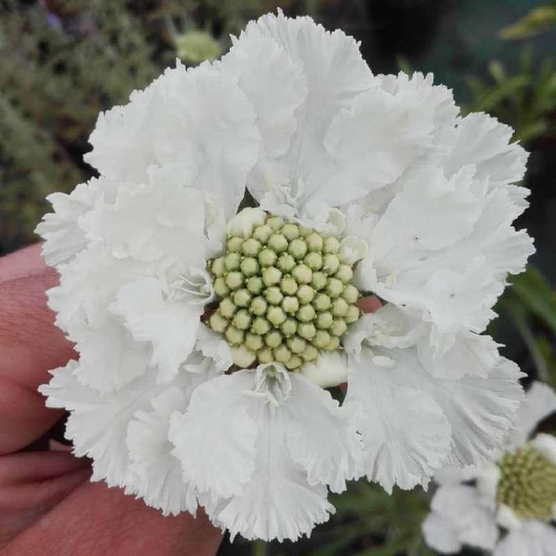 Fiori Bianchi Ottobre.Scabiosa Caucasica Fama White I Giardini Dell Indaco